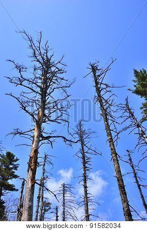 Dead Pine Trunks