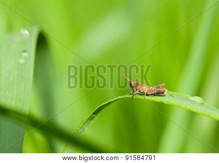 Hopper In Grass