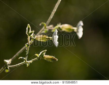 Silene Latifolia Blossom