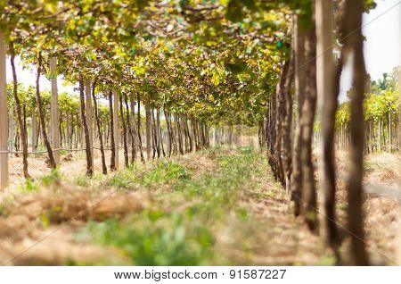Vineyards In Khaoyai, Thailand