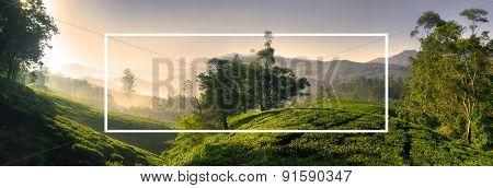 Panorama of Beautiful Sunrise Tea Plantation Concept