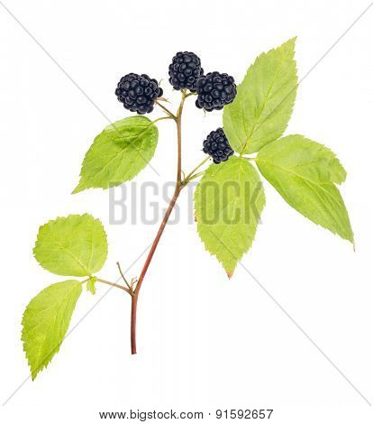 ripe blackberry with green leaves isolated on white background
