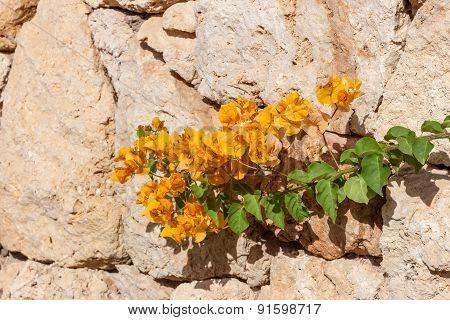 yellow bougainvillea, Sharm el Sheikh, Egypt.