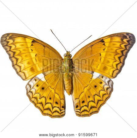 Isolated Common Yeoman Butterfly On White Background