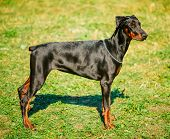 stock photo of doberman pinscher  - Young - JPG