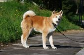 stock photo of puppy dog face  - Puppy of Japanese dog Akita Inu posing in the street - JPG