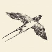 stock photo of swallow  - Swallow bird hand drawn vintage engraved illustration - JPG