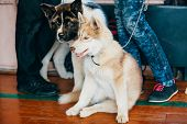 picture of eskimos  - Young Happy Husky Puppy Eskimo Dog And American Akita Sitting Together On Wooden Floor  - JPG