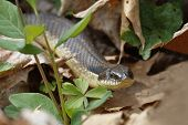 foto of harmless snakes  - Eastern Hog - JPG