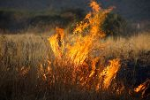 picture of veld  - Grass burning in a wild bush fire outdoors - JPG