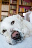 pic of sleepy  - closeup of a sleepy Spanish Mastiff indoor with library on background - JPG