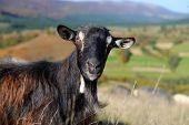 pic of baby goat  - Close - JPG