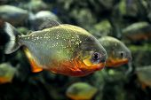 image of piranha  - Tropical piranha fishes in a natural environment - JPG