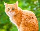 stock photo of sad eyes  - Ginger shorthair cat with sad green eyes sitting and looking at camera in sunny garden at summer day - JPG