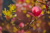 picture of magnolia  - View of nice Magnolia on the branch  - JPG