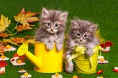 pic of puss  - Cute gray kittens with yellow watering can on artificial green grass - JPG