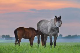image of colt  - Grey mare with colt on green pasture against sunset sky - JPG