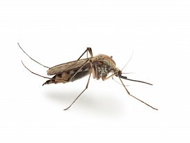 picture of gnat  - Macro of mosquito side view isolated on white - JPG