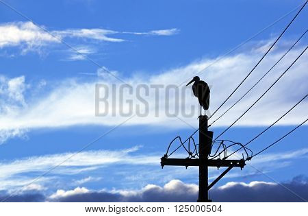 Silhouette Of Wooly Neck Stork On Electricity Pole