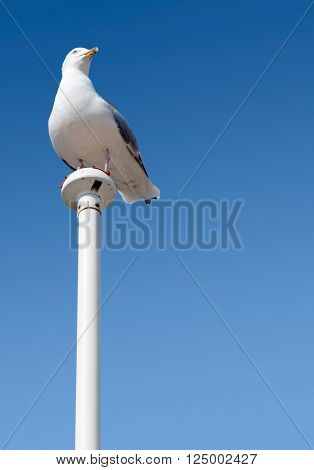 Seagull perched on a flag pole with big blue sky.