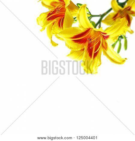 close up hemerocallis flowers on white background