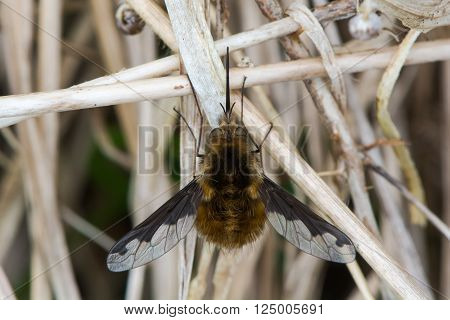 Dark-bordered bee fly (Bombylius major) from above. Bee mimic in the family Bombylidae, with very long proboscis and dark patches on wings