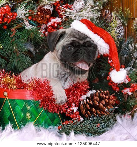 Cute christmas pug puppy dog with santa hat.
