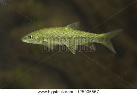 The Iberian Barbel (Luciobarbus comizo) is a ray-finned fish species in the family Cyprinidae. It is here placed in Luciobarbus following the IUCN but that genus is very closely related to the other typical barbels and perhaps better considered a mere sub