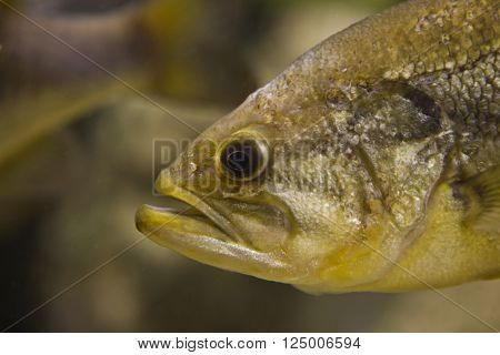 A Largemouth Bass Micropterus salmoides floats motionless close-up