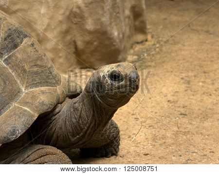 Close up of an Aldabra Giant Tortoise.