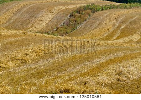 The compressed band on yellow wheat field ** Note: Soft Focus at 100%, best at smaller sizes