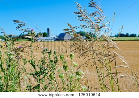 Stalk of dry grass on yellow and blue background