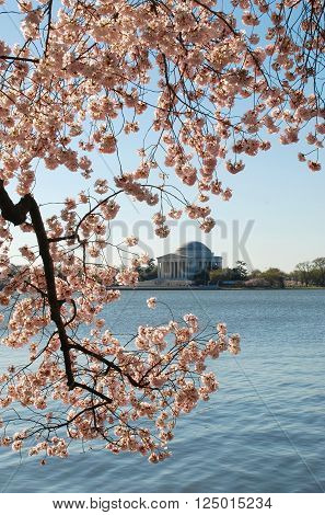 A vertical photograph of the Jefferson Memorial surrounded by cherry trees