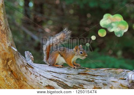 Concept image of a Canadian red squirrel thinking.