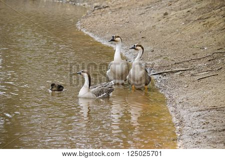 the three Canadian geese on the edge of a waterhole