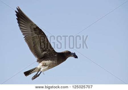 the juvenile pacific gull is flying high in the clear blue sky