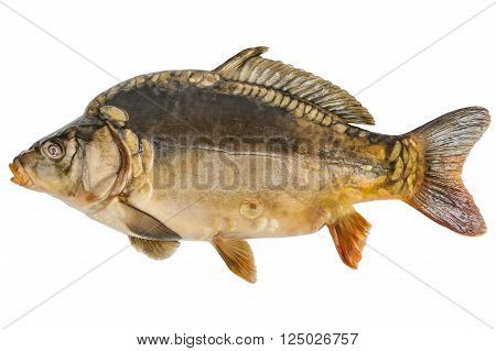 Big common carp (Cyprinus carpio) isolated on white background with clipping paths
