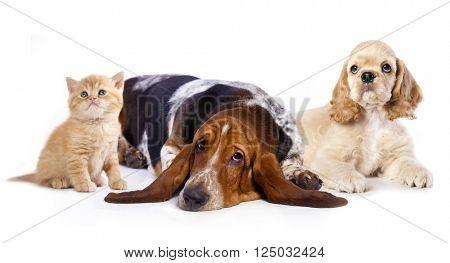 Cocker Spaniel puppy and  kitten