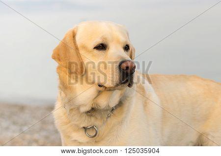 Beautiful labrador dog portrait against the sea.