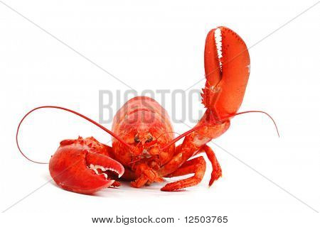 hello lobster isolated on white