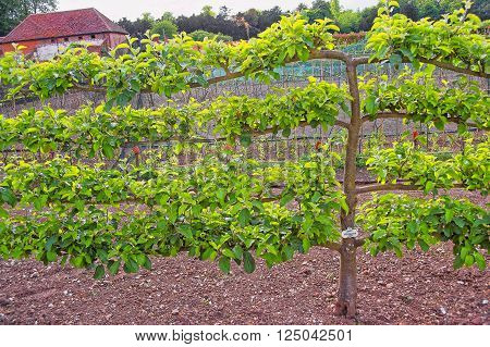 Apple Tree in the Kitchen garden in Audley End House in Essex in the United Kingdom. It is a medieval county house. Now it is under protection of the English Heritage.