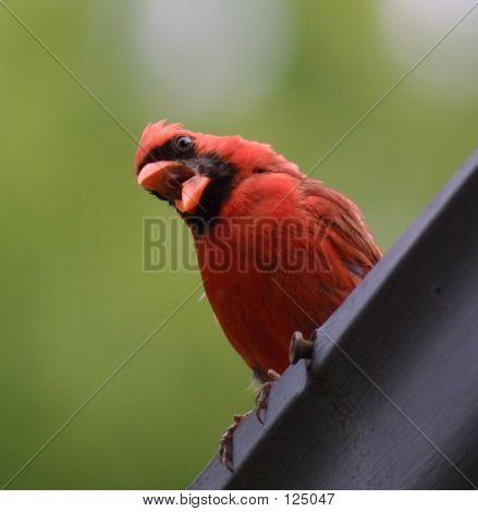 Complaining Cardinal