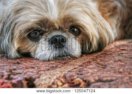 Shihtzu lying down and resting on cobblestones