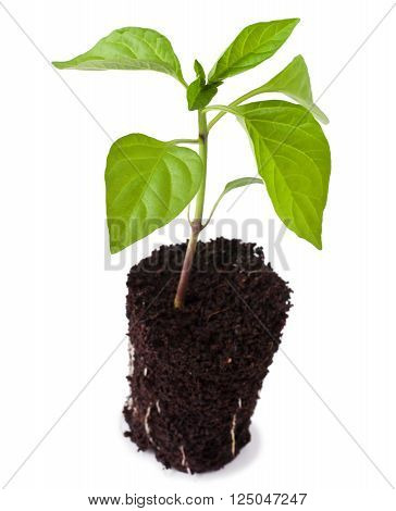 Pepper seedling, isolated on a white background