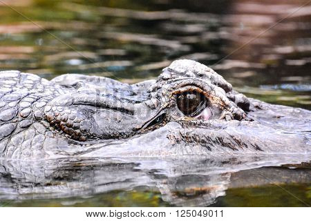 Photo Picture of an Amphibian Beautiful Animal Crocodile