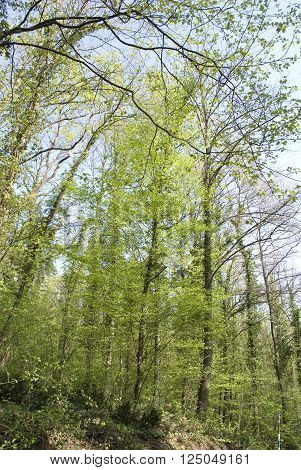 Scenic deciduous forest with spring Sun casting its warm rays trough the foliage. Sunlight in the green forest. Sunlit spruce Springtime. Tree gazing in woods.