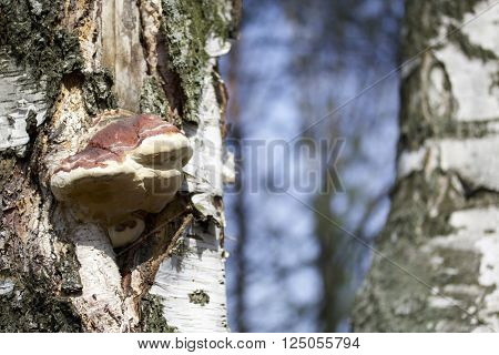 Wood fungus growing on a birch tree. Blurring background.