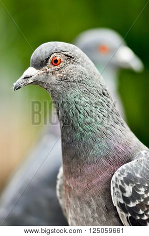 Detail of Feral pigeon (Columba livia domestica). Heads of two city doves with distinct orange eyes.
