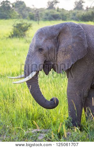 Big African elephant at the Murchison Falls National Park savanna in Uganda, Africa