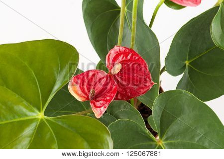 Anthurium a flowering plant with beautiful flowers on a white background